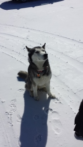 We stopped to ski at the Cascade XC Ski Center, but instead just took pictures with this dog in the parking lot.